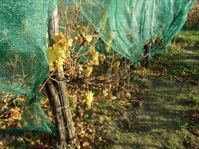 Zártkerti szőlő, pince-présház Ságváron